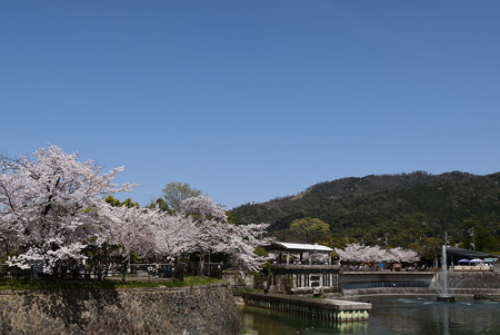 噴水と大文字の桜風景