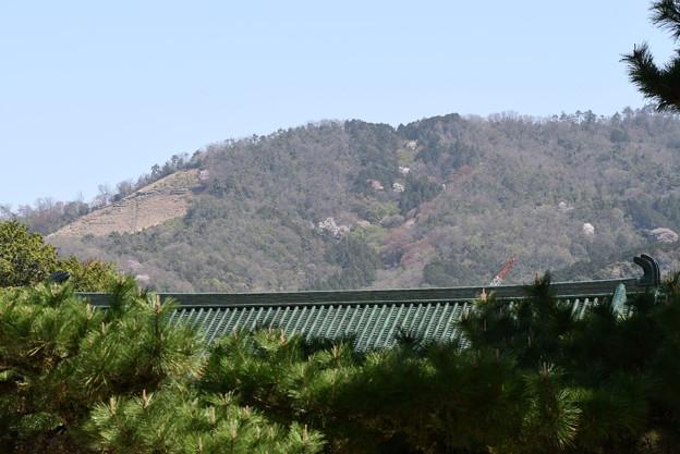 大文字山の桜