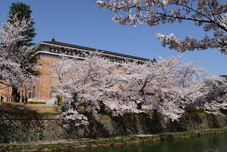 京セラ美術館脇の染井吉野