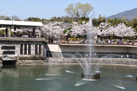 噴水と動物園の桜