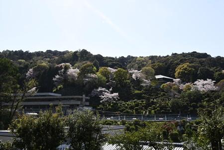 蹴上浄水場の桜