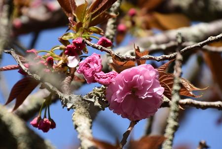 咲き始めた関山(カンザン)