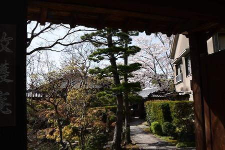 牧御庵の桜