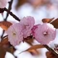 日吉桜(ヒヨシザクラ)