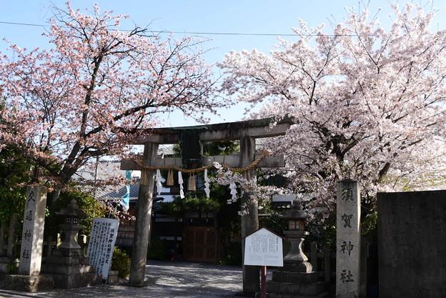 須賀神社の染井吉野