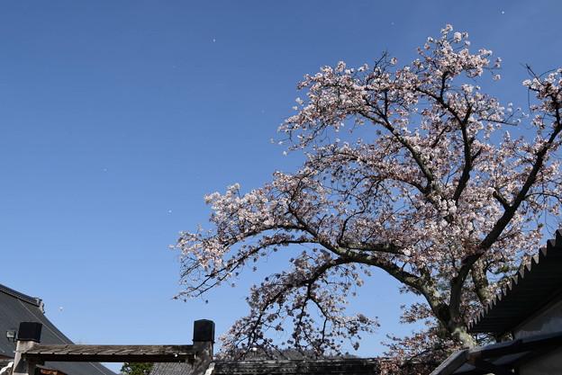 染井吉野(ソメイヨシノ)
