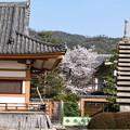 聖護院の桜風景