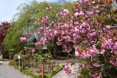 関山と牡丹の本満寺