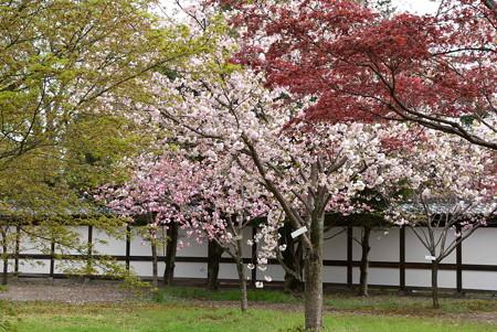 もみじの間の八重桜