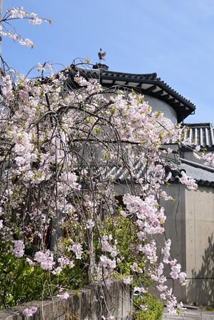 八重紅枝垂れ咲く十念寺