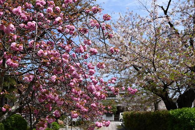 関山と咲き残った染井吉野
