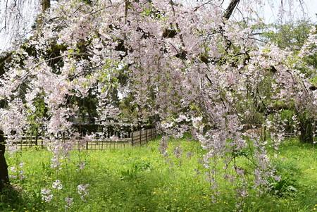 近衛邸跡の八重紅枝垂れ(ヤエベニシダレ)