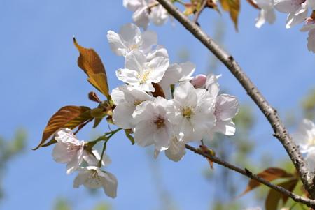 出水広場北部の桜1
