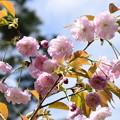 出水広場北部の桜