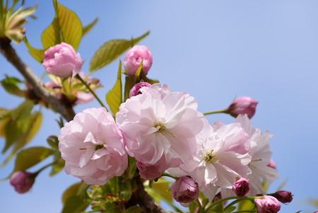 建礼門向かいの桜2