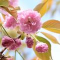 建礼門向かいの桜1