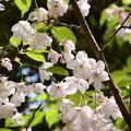 建礼門向かいの桜3
