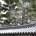 屋根越しの霞桜(カスミザクラ)