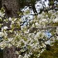 霞桜(カスミザクラ)