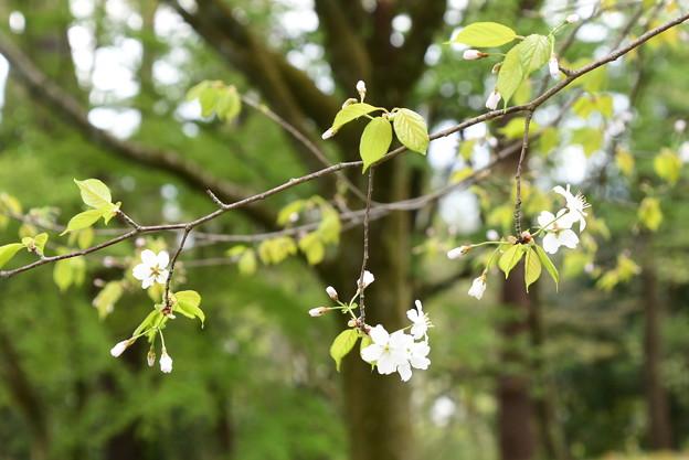 石薬師門脇の霞桜(カスミザクラ)