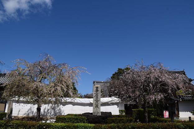 妙顕寺の八重紅枝垂れ