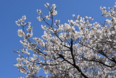 宝鏡寺の桜