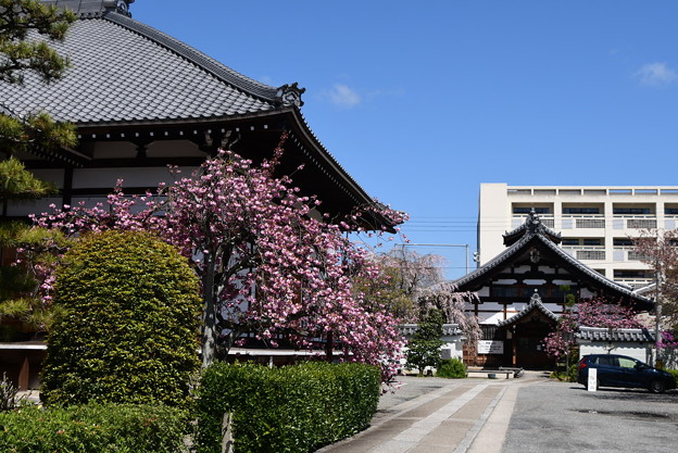 本堂脇の関山(カンザン)