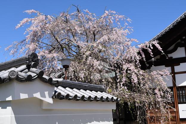 寺務所の八重紅枝垂れ(ヤエベニシダレ)