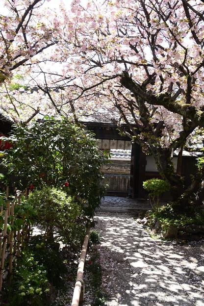 桜散る雨宝院