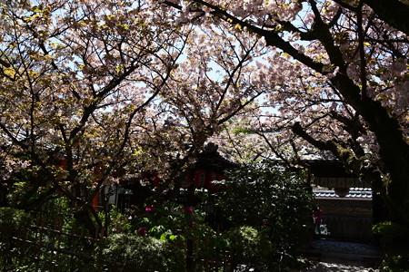 歓喜桜、観音桜咲く雨宝院