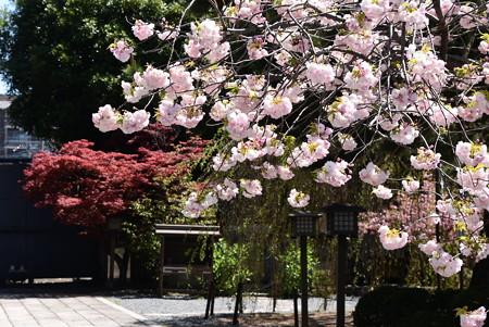 八重桜と春もみじ