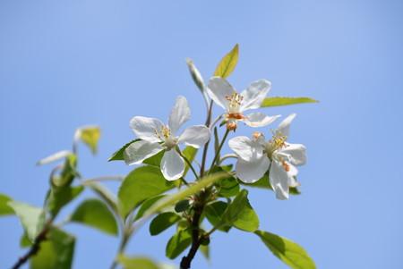 大裏白の木(オオウラジロノキ)