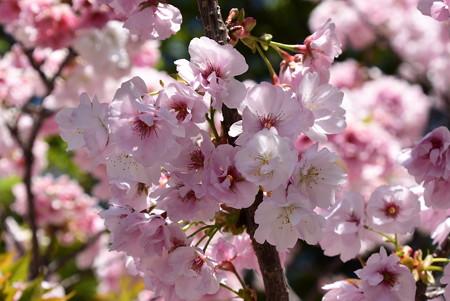 布袋像前の桜