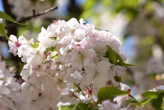 白雲桜(シラクモザクラ)