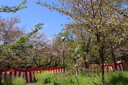 平野神社桜園