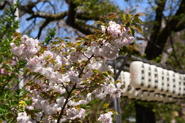 桜園の大内山(オオウチヤマ)