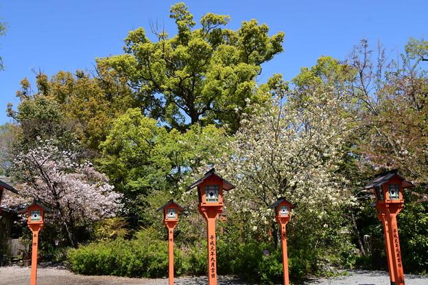鬱金と楊貴妃咲く平野神社