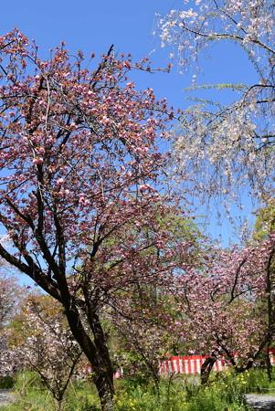 関山と八重紅枝垂れ咲く桜園