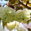 園里黄桜(ソノサトキザクラ)