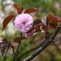 ドウバカンザン(銅葉関山)1