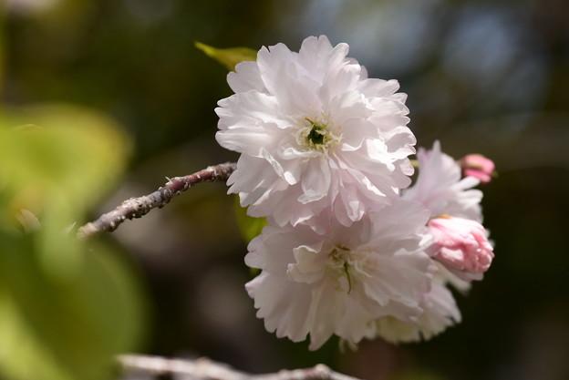 鎌足(カマタリ)