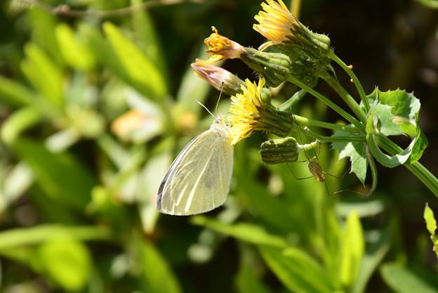 野罌粟に止まる紋白蝶(モンシロチョウ)