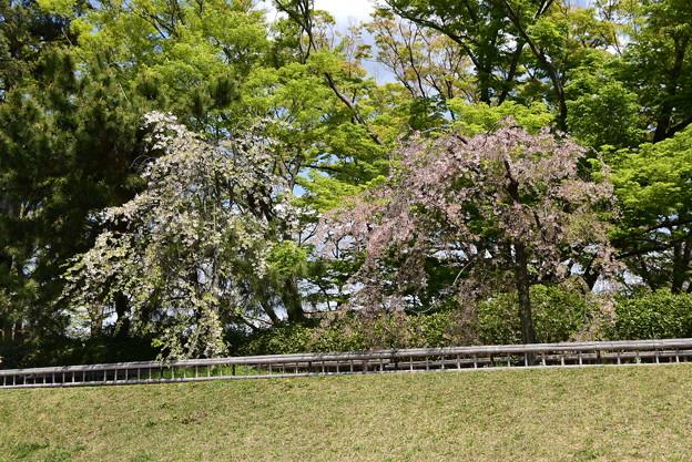 半木の道(なからぎのみち)の桜