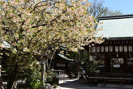 鬱金咲く白峯神宮