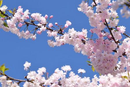 門西中央の桜