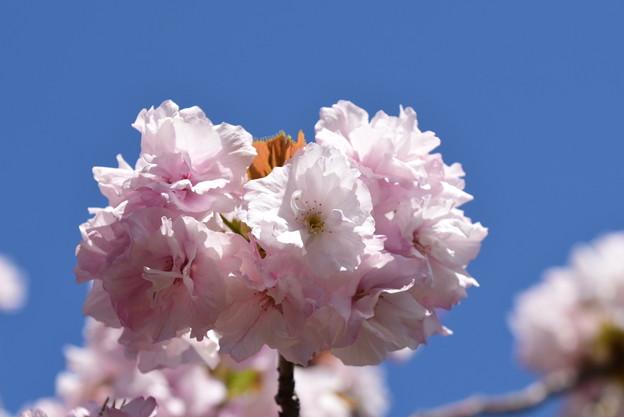 門東の八重桜