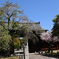 妙覚寺門東の桜