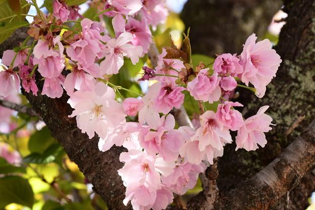 一番奥の桜