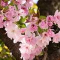 Photos: 一番奥の桜