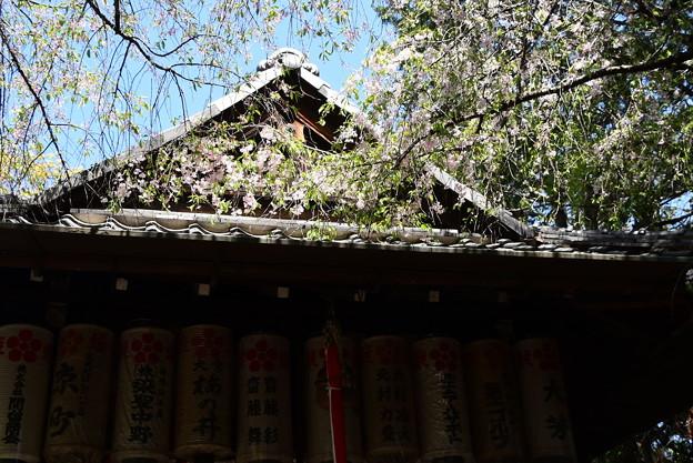 屋根に掛かる八重紅枝垂れ(ヤエベニシダレ)